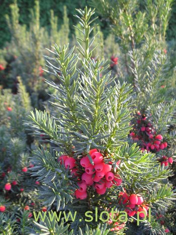 cis hicksii taxus
